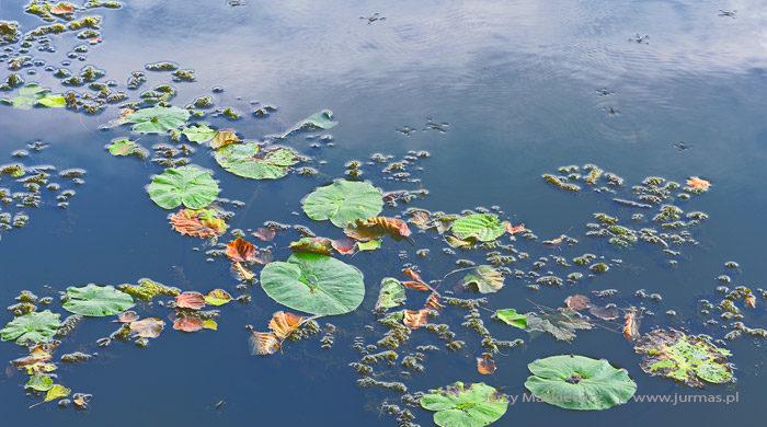 Szukając lilii wodnych